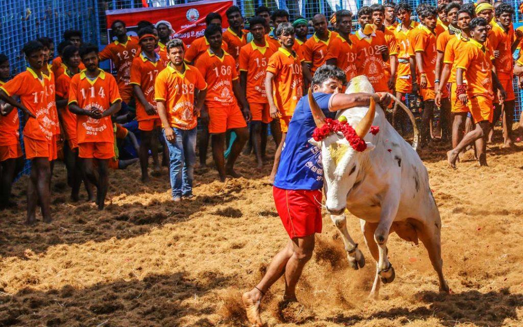 Competitors taking part in the bull taming sport of Jallikattu in AVANYABURAM near Madurai