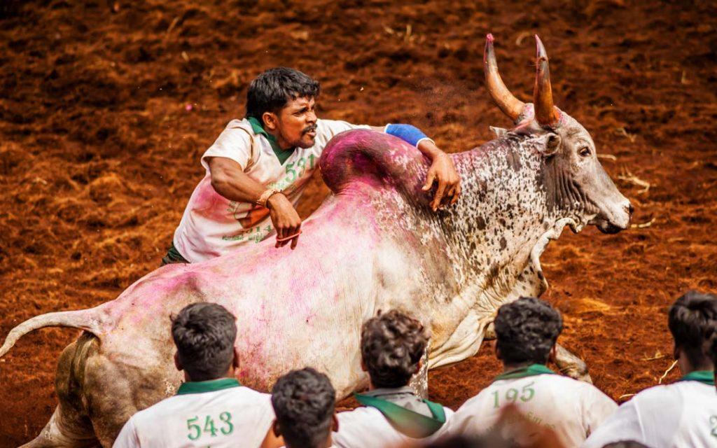 Competitors taking part in the bull taming sport of Jallikattu in Alanganallur, near Madurai, Tamil Nadu
