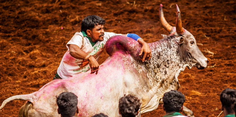 Best Places To Witness The 2020 Jallikattu In Tamil Nadu