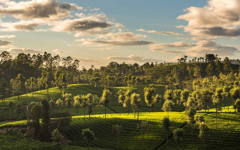 A beautiful sunset over the tea fields in the mountains of Valparai, Tamilnadu, India