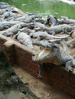 crocodile-bank-chennai
