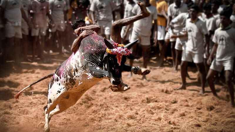 jallikattu bull fight