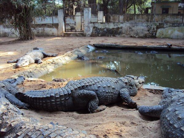 Amaravathy Crocodile park